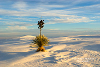 Yucca in a Sea of Sand